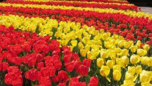 Meravigliosi tulipani olandesi